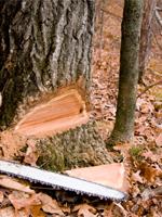 Потрібно зрізати дерево в Рівне або районі ?Телефонуйте