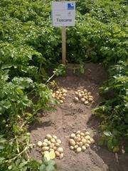 семенной картофель для Профессионалов с Ровенской области
