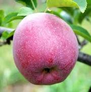 продам яблуко урожаю 2013 оптом