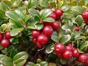 Сезонная работа по сбору дикорастущих ягод